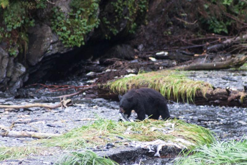 Ein Bär mit Lachs im Maul