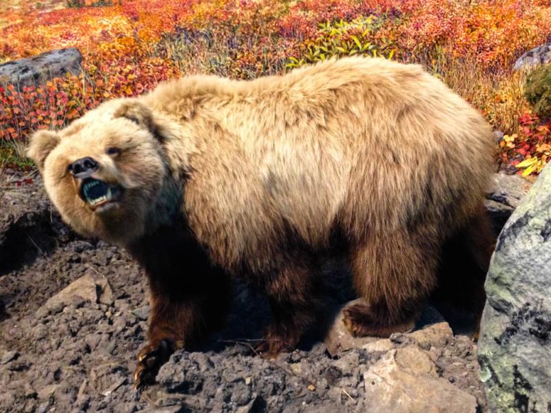 Der Bär im Morris Thompson Cultural Center - täuschend echt präsentiert
