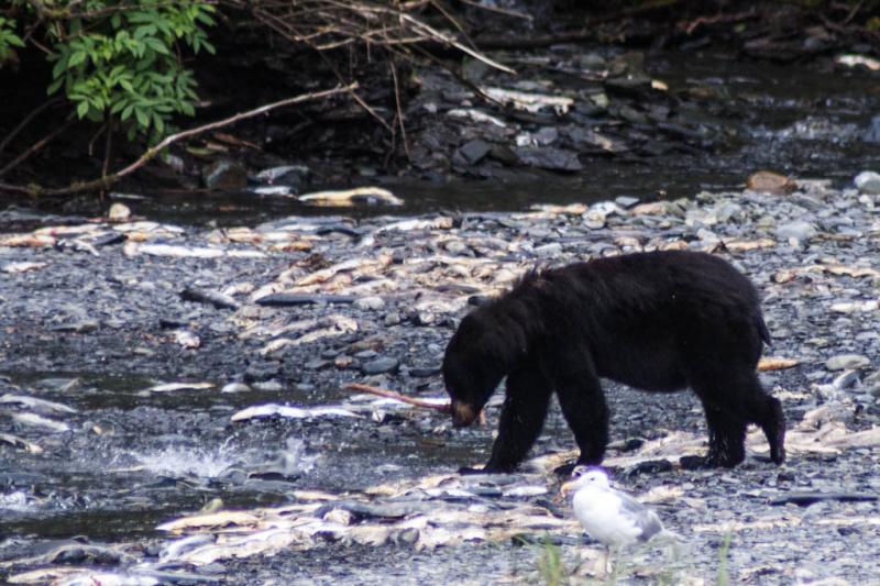 Der Creek war voller Lachse - genug Auswahl für die Bären