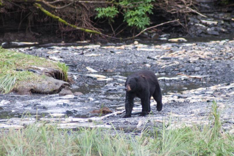 Der Bär kann sich nicht entscheiden, welchen Lachs er als nächstes fangen soll