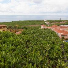 """Das Bananen-""""Meer"""" auf La Palma ist beeindruckend"""