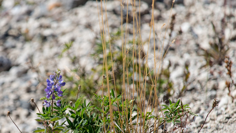 Die Lupine war eine der ersten Pflanzen, die nach dem Ausbruch des Mount St. Helens zurückkehrte