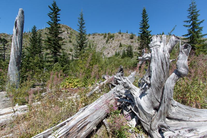 Die Natur erobert sich die Umgebung des Mount St. Helens wieder zurück