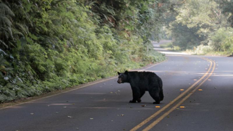 Bär im Redwood National Park