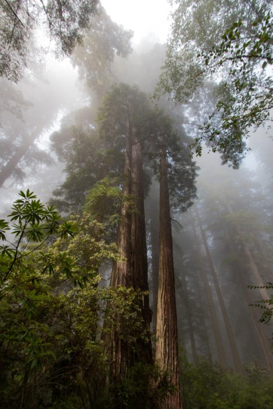 Küsten-Mammutbaum im Nebel