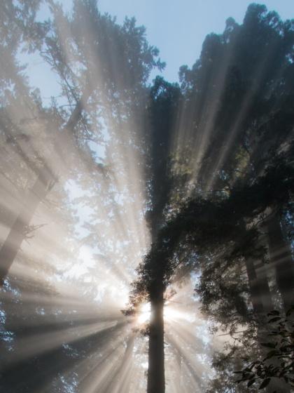Küsten-Mammutbäume in den Redwood State and National Parlks