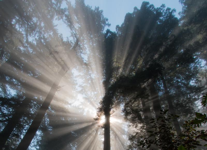 Küsten-Mammutbäume in den Redwood State and National Parks