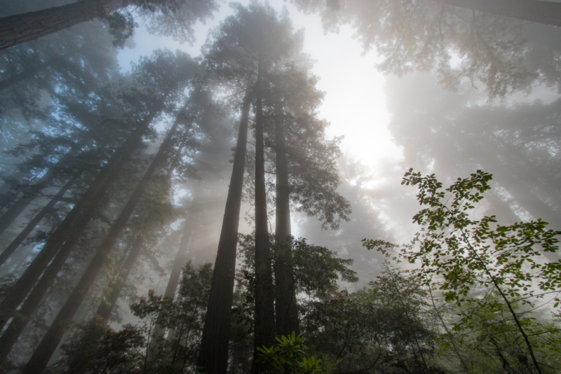 Baumriesen vom Nebel umwabert
