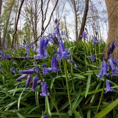 Atlantisches Hasenglöckchen im Wald der blauen Blumen