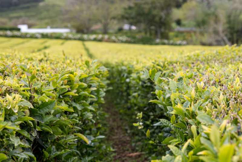 In der Teeplantage