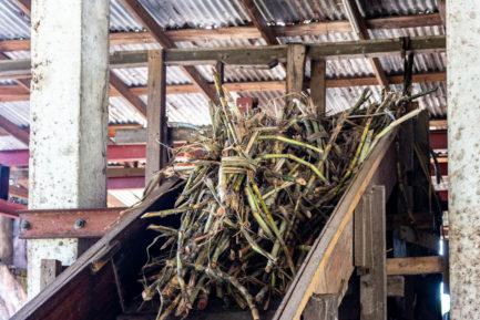 Das Zuckerrohr kurz vor dem Auspressen