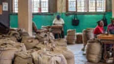 Sortierung von Muskatnüssen bei der Gouyave Nutmeg Processing Cooperative