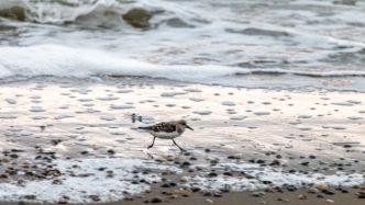 """Der Sanderling macht seinem niederländischen Namen """"Drieteenstrandloper"""" (Dreizehen-Strandläufer) alle Ehre und flitzt den Strand entlang"""