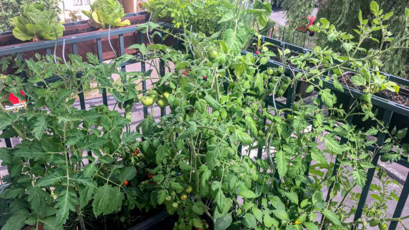 Vom Reiseblogger zum Balkongärtner: Tomaten, Salat und Kräuter werden auf dem Balkon kultiviert